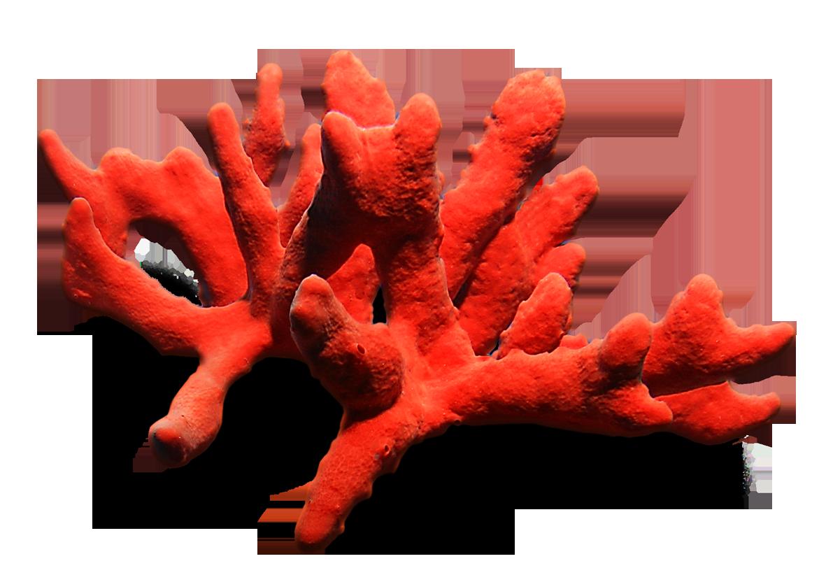 Разновидности коралла